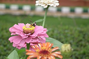 Zinnia from Lalbagh Garden, Bangalore, INDIA d...