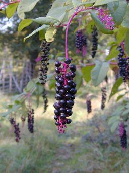 Phytolacca-americana-berries
