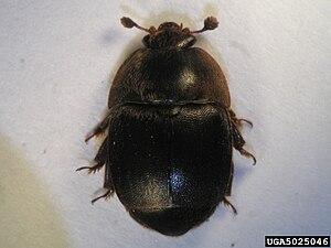 English: Small hive beetle Česky: Lesknáček včelí