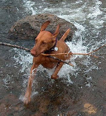 "A Hungarian Vizsla named ""Ginger Gypsy Ro..."