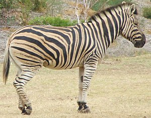 Zebra from Werribee Open Range Zoo, Victoria, ...