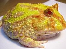 Ceratophrys ornata (Pacman Frog).JPG