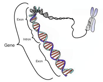 Représentation simplifiée d'un gène d'eucaryote.