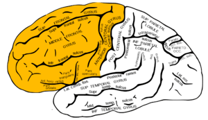 Frontal lobe.