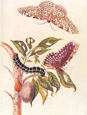 Colored copper engraving from Metamorphosis in...
