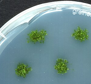 Physcomitrella patens plants growing axenicall...