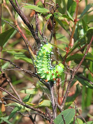 A Cecropia caterpillar starting its cocoon.