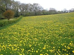 Dandelions, at Post Farm