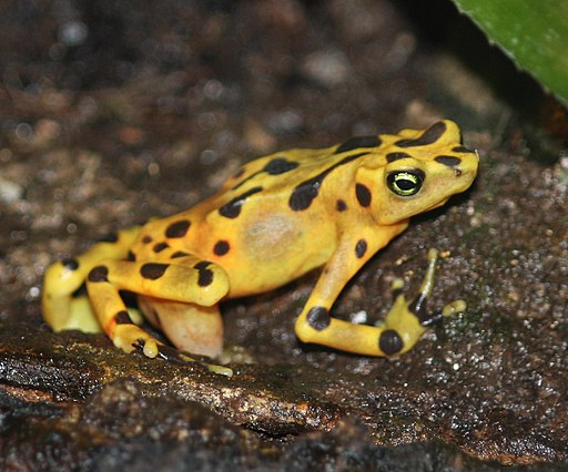Panamanian Golden Frog 12