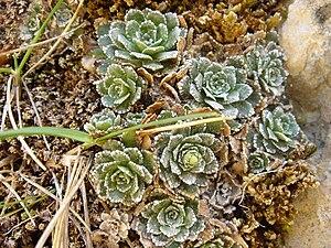 Saxifraga paniculata (Picos de Europa)
