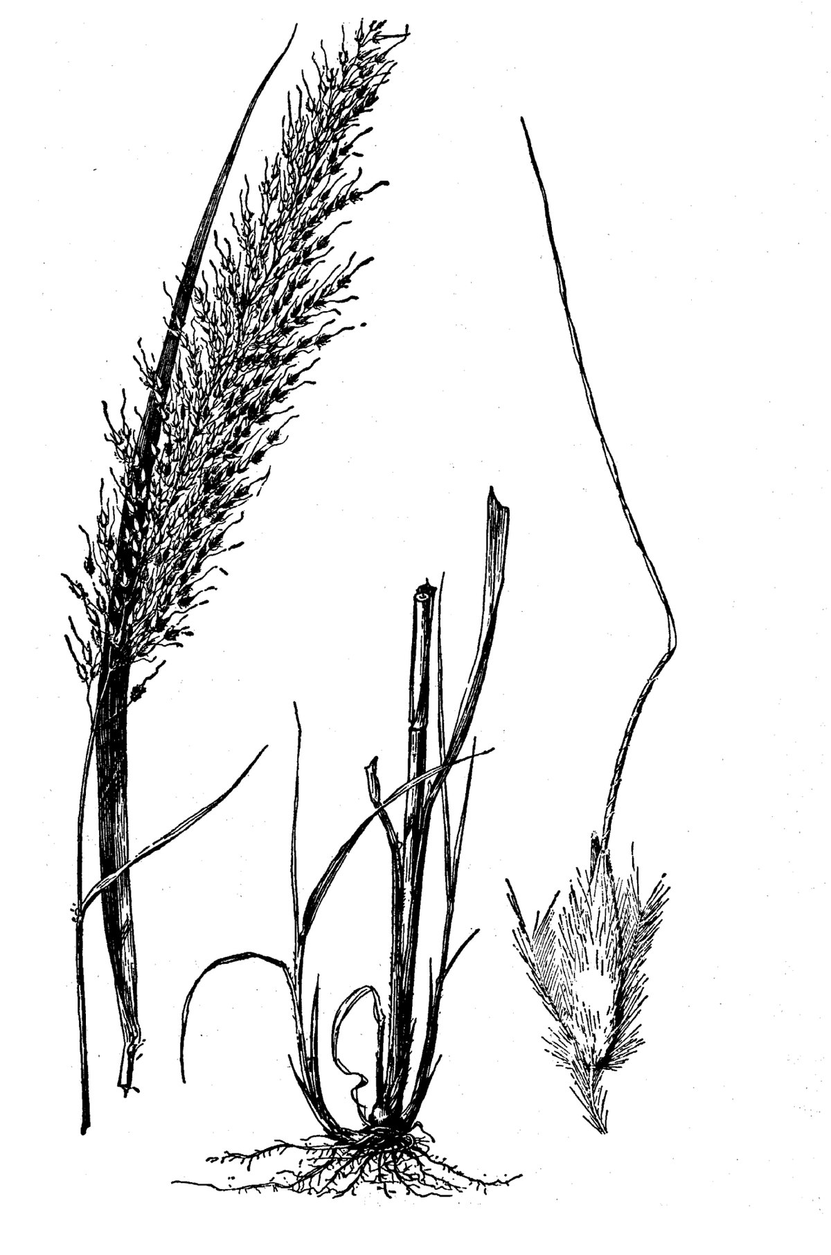 File Sorghastrum Nutans Illustration 2 Tif