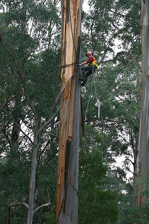 An arborist felling a eucalyptus tree with a c...