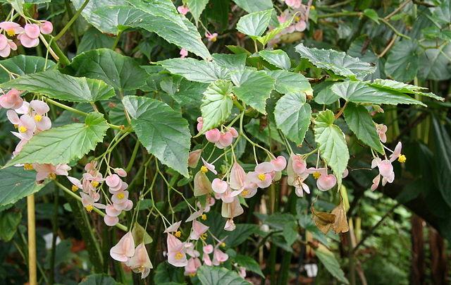 Begonia naumoniensis