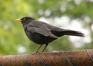 An adult blackbird male.