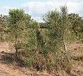 Citrus glauca bushes.jpg
