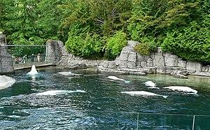 Delphinapterus leucas at Vancouver Aquarium