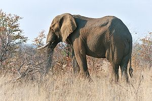 Elephant from Kruger Park, South Africa. Deuts...