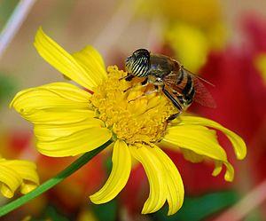 Hoverfly (Eristalinius taeniops)