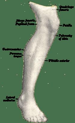 Human leg  Wikipedia