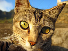 Linsenauge der Katze