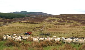 English: Hopeful sheep at Urlar Anybody walkin...
