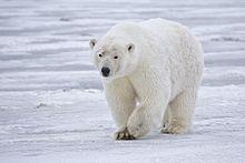 Polar Bear - Alaska.jpg