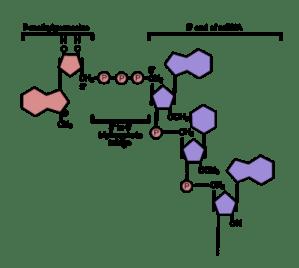 An Introduction to Molecular BiologyTranscription of RNA