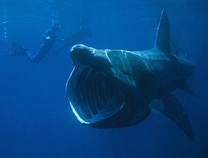 A basking shark filter feeding.