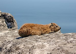 Basking on Table Mountain