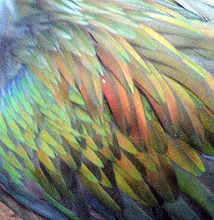 Feathers of Nicobar Pigeon