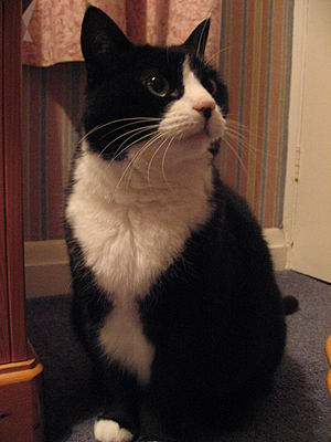English: An Adult Female Tuxedo Cat