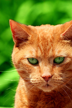 English: A picture of my orange tabby cat Ging...