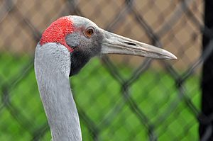 A Brolga at International Crane Foundation, Ba...