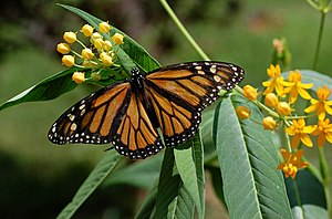 Photograph of a female Monarch Butterfly en ( ...