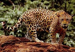 Panther Panthera onca