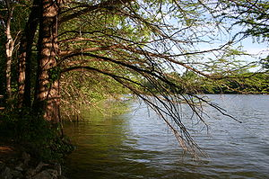 English: Taxodium distichum planted by water. ...