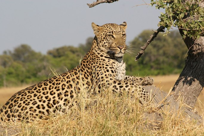 African Leopard 5