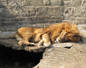 English: A lion sleeping in Belgrade Zoo Suomi...