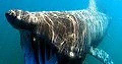 Cetorhinus maximus by greg skomal.JPG