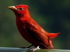 Piranga rubra English: A Summer Tanager in Man...