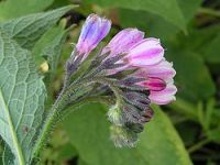 Comfrey Uses Medicine: The flowers of Russian comfrey