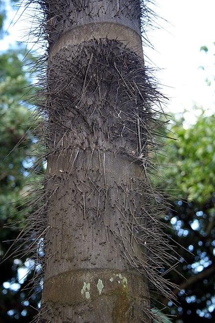 Image result for espinas huicungo