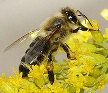 Kranjska čebela (Apis mellifera carnica)