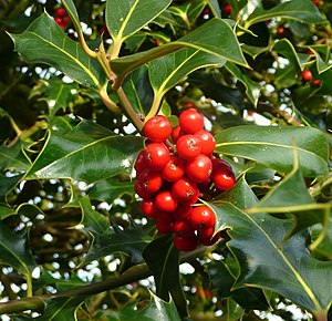 English: Ilex species; Common Holly. I noticed...
