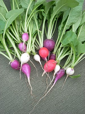 Easter egg radishes, just harvested