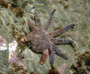 Sea star is growing new legs after old ones we...
