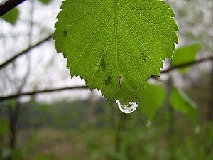 A wet leaf with few insects on it
