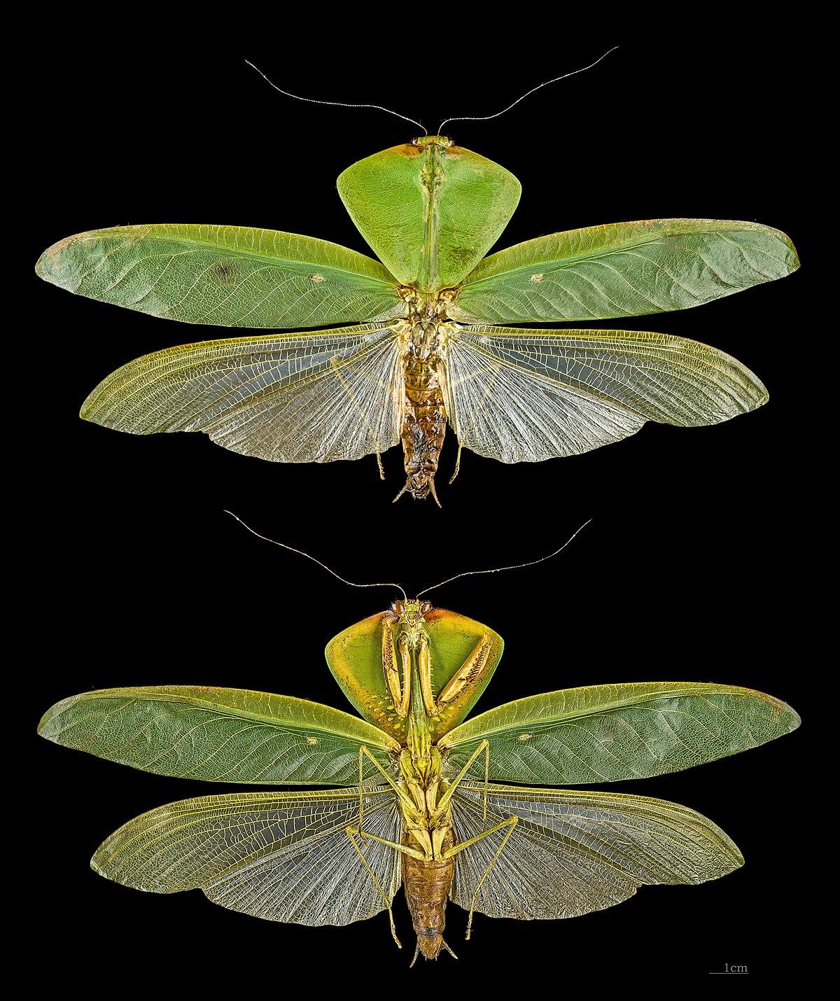 Leaf Mantis Wikipedia