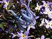 Corydalis flexuosa 'China Blue'