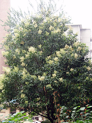 Flowering tree privet